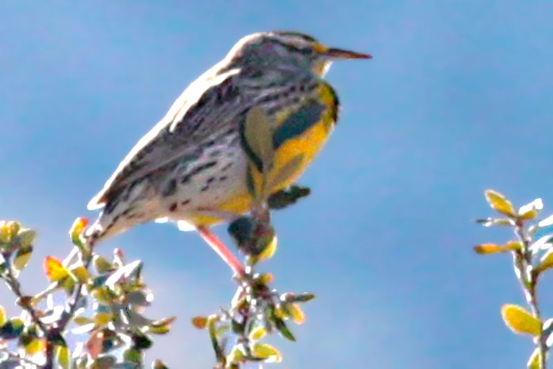 Eastern Meadowlark Lilians